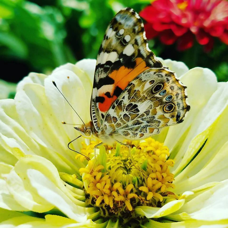 grace and beauty, butterfly on yellow zinnia flower