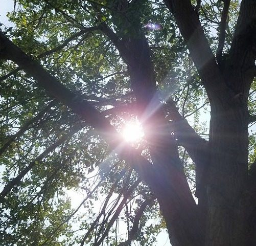 sun shining through cottonwood tree