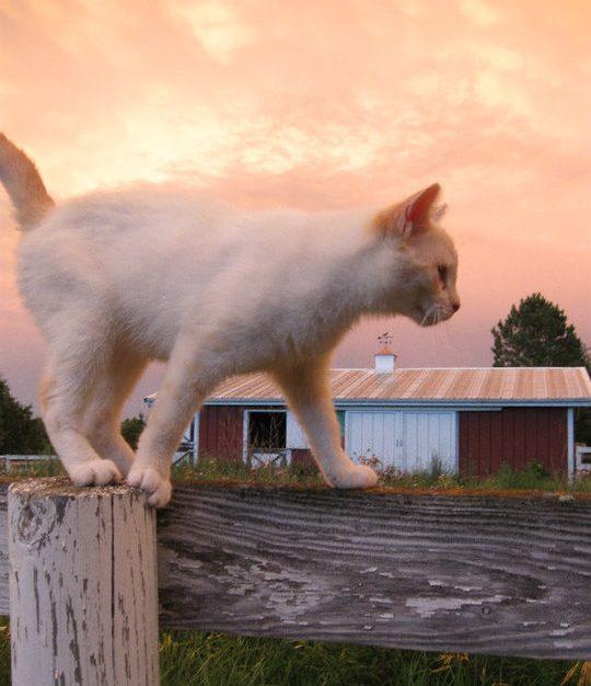 white kitten red barn sunset