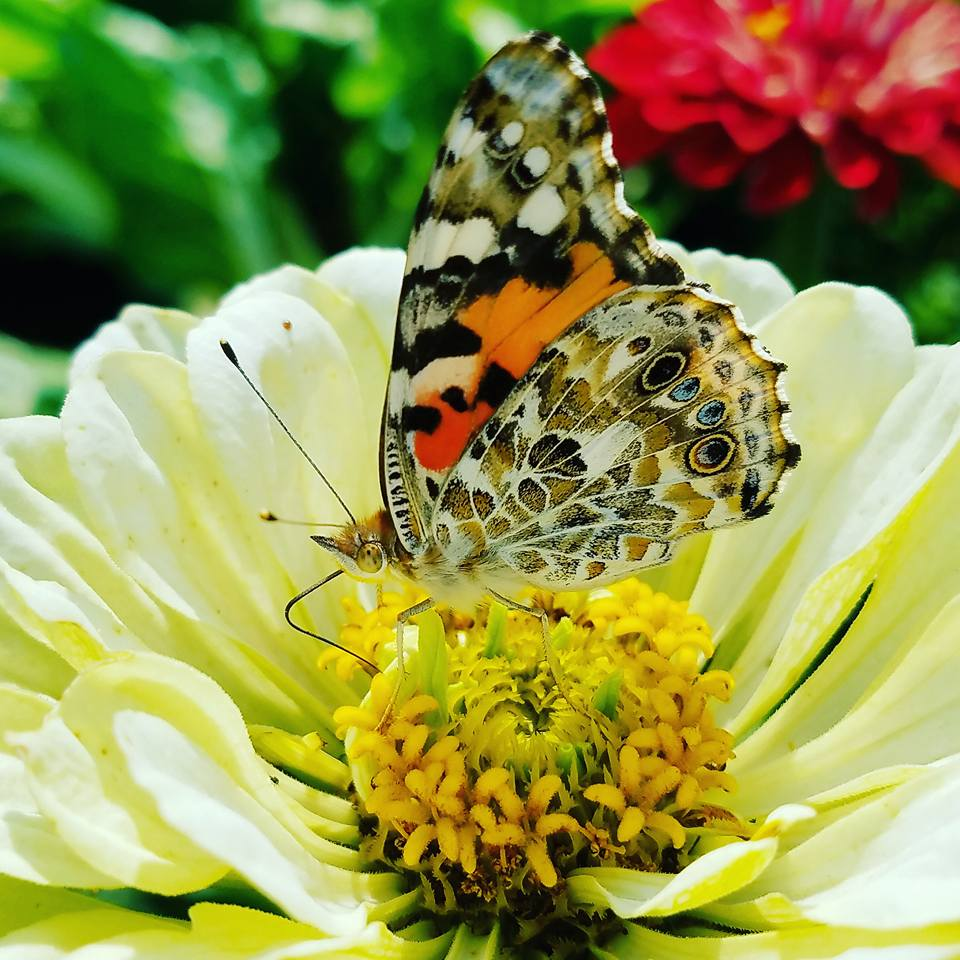 painted lady butterfly on zinnia blossom