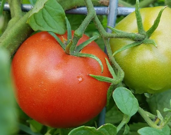 Three Months to Save $2.19 on Tomatoes?