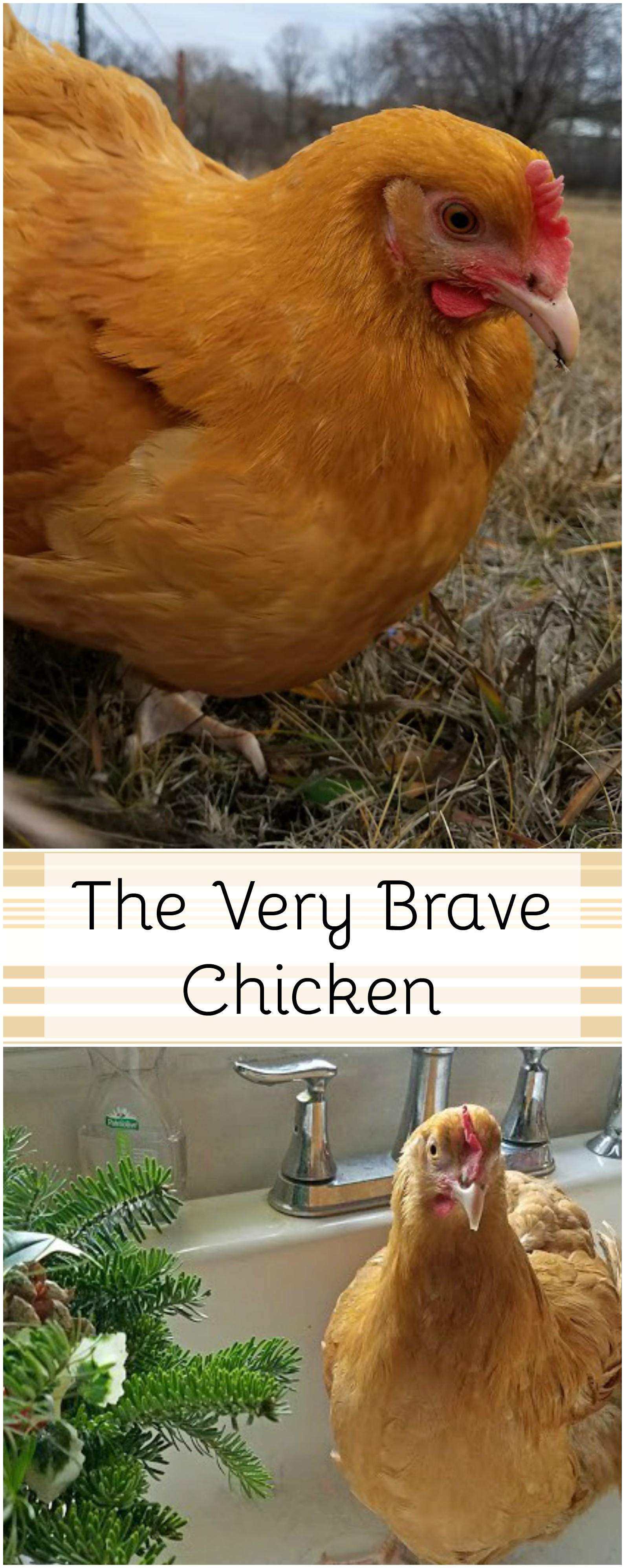 very brave chicken