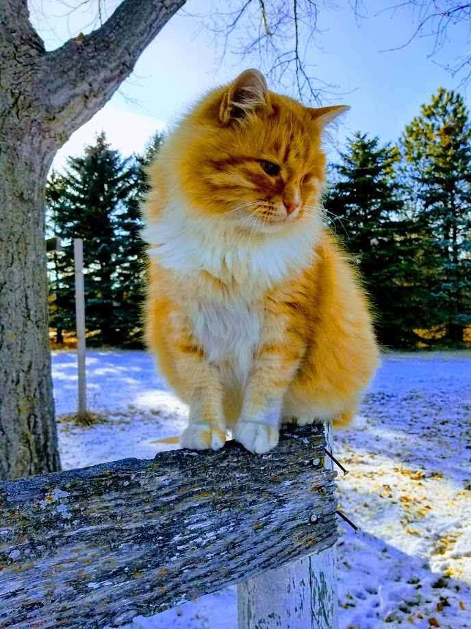 orange tabby cat in winter