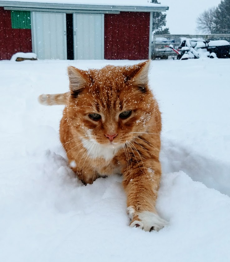 orange cat in snowy barnyard