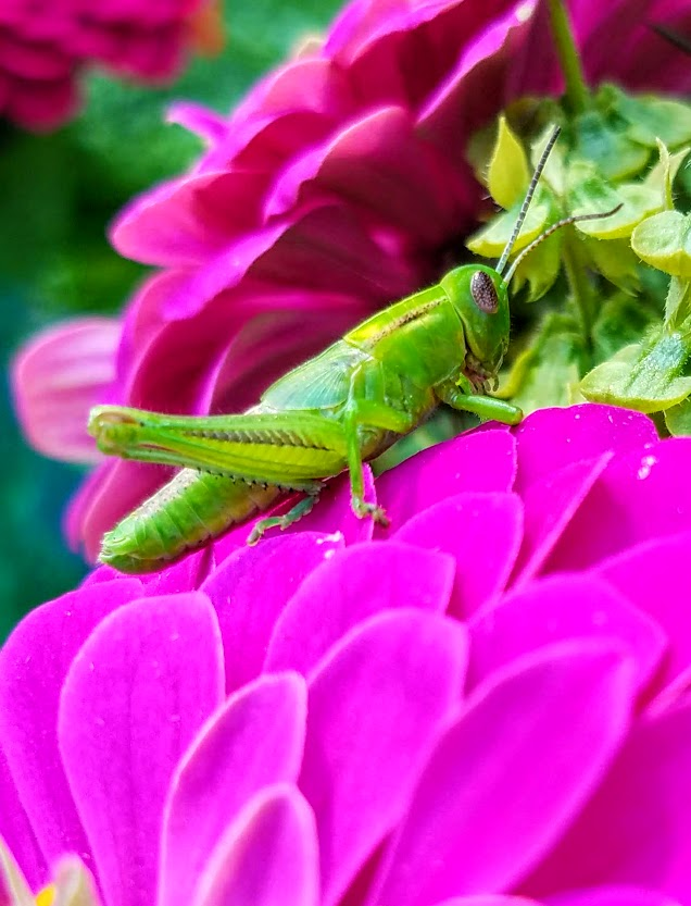 green grasshopper on pink flower